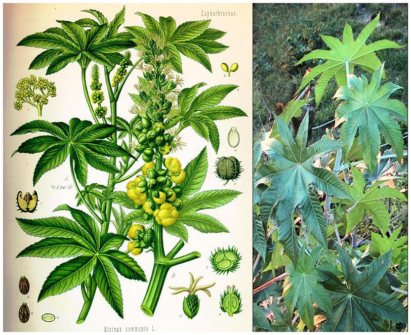 Plantas Peligrosas Ricinus