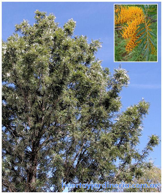 Plantas Peligrosas Roble20Sedoso