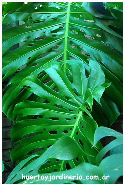 Plantas Peligrosas Sandalia
