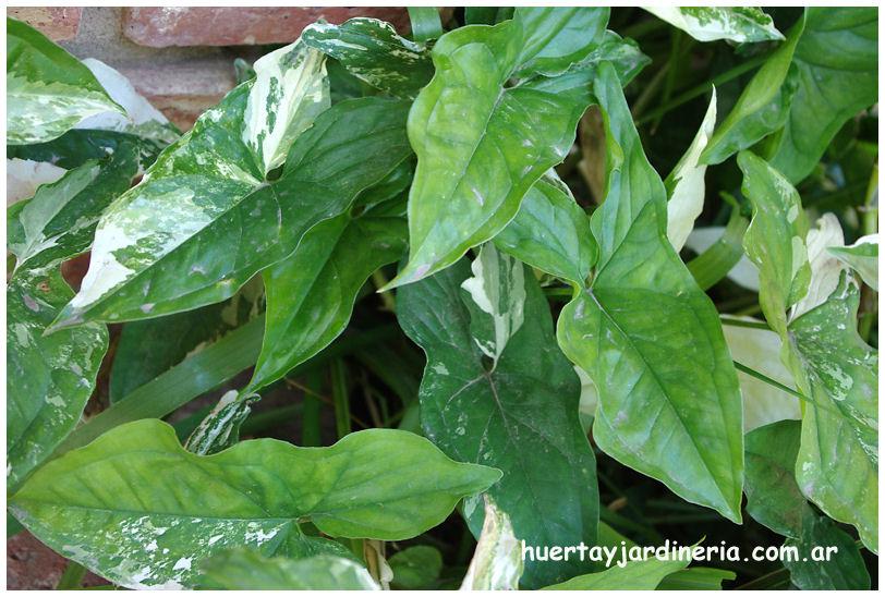 Plantas Peligrosas Singonium3072
