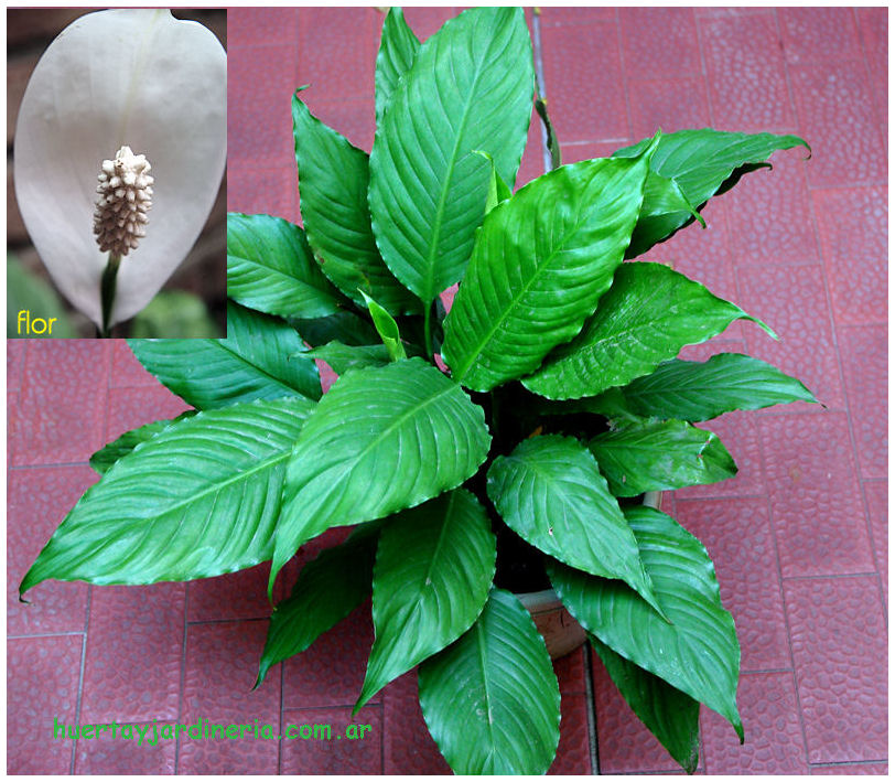 Plantas Peligrosas Spatifilium