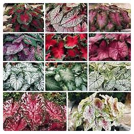 Plantas Peligrosas Caladium