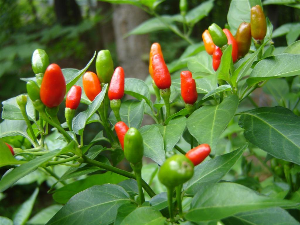 Plantas Peligrosas Capsicum