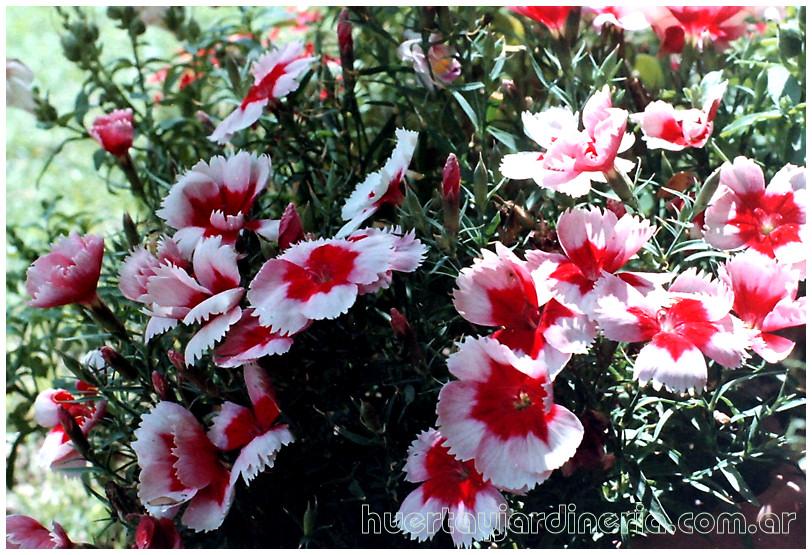 Plantas Peligrosas Clavelinas