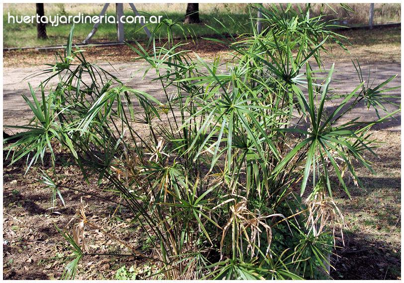 Plantas Peligrosas Cyperus