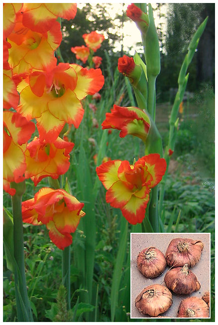 Plantas Peligrosas Gladiolo