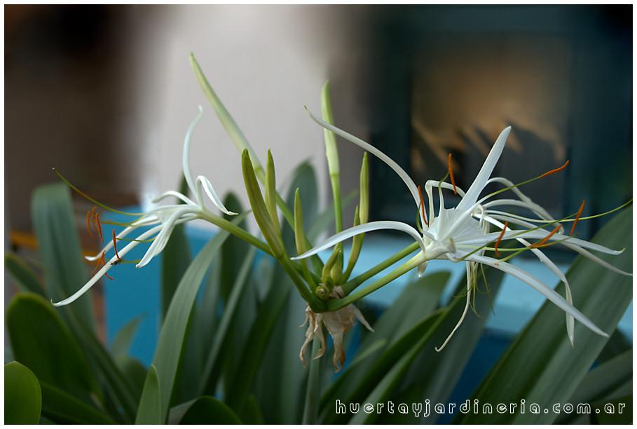 Plantas Peligrosas Hymenocallis20sp