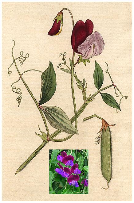 Plantas Peligrosas Lathyrus20odoratus