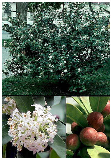 Plantas Peligrosas Laurel20toxico