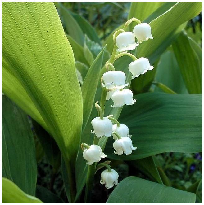 Plantas Peligrosas Muguet20Convalaria20majalis