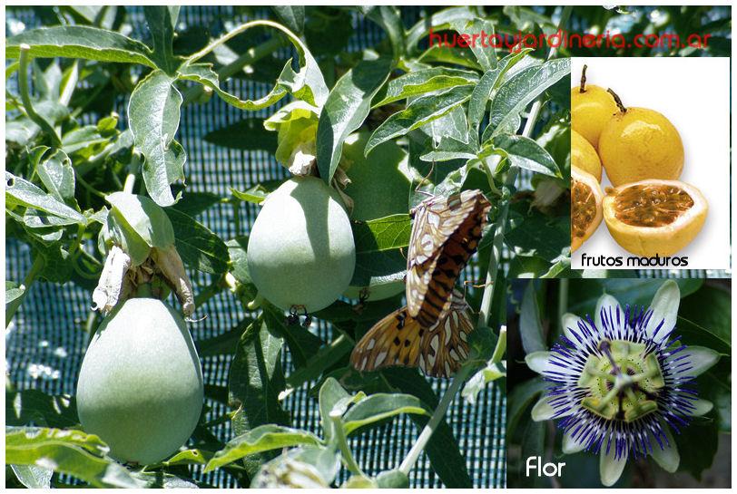 Plantas Peligrosas Pasionaria