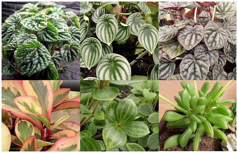 Plantas Peligrosas Peperomias