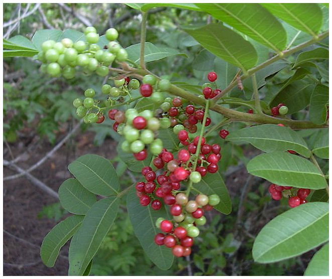 Plantas Peligrosas Pimienta