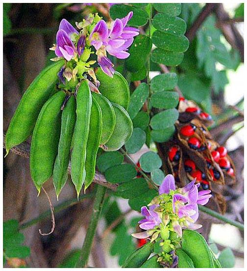 Plantas Peligrosas Regaliz