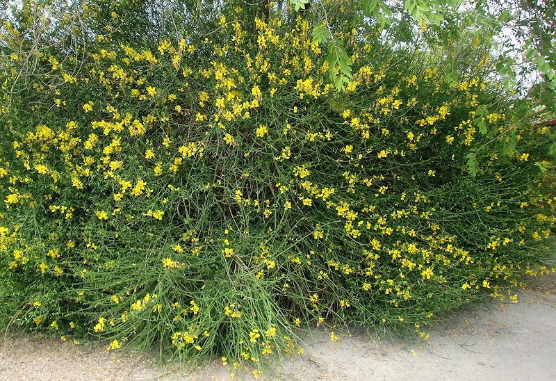 Plantas Peligrosas Retama