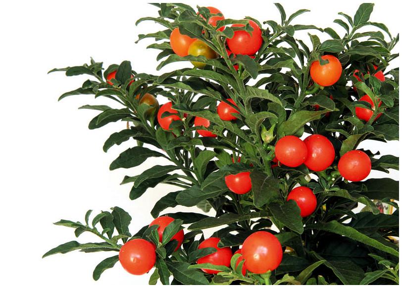 Plantas Peligrosas Solanum20pseudocapsicum
