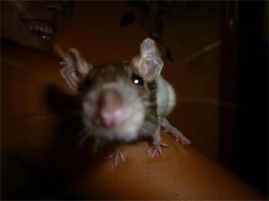 Entrego en adopción ratis de una nueva camada ((CERRADO)) 1