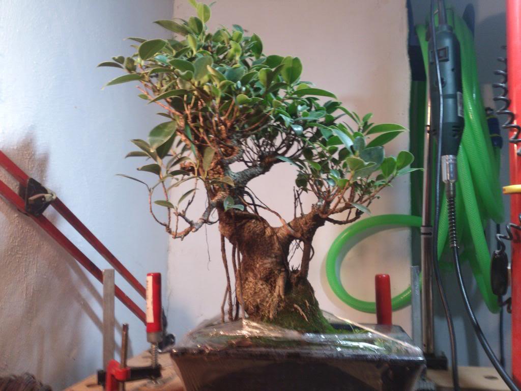 Nuevo inquilino, Ficus Retusa. DSC_0600_zps70a09712
