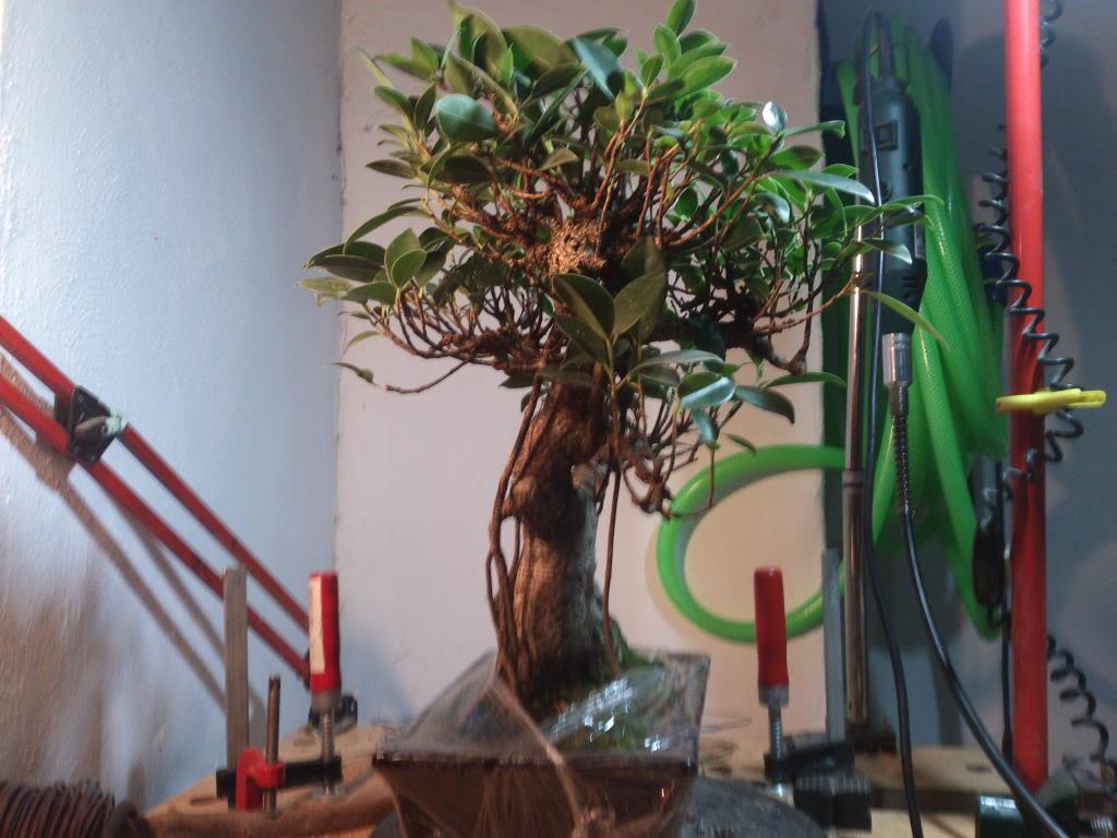 Nuevo inquilino, Ficus Retusa. DSC_0601_zps66f86835