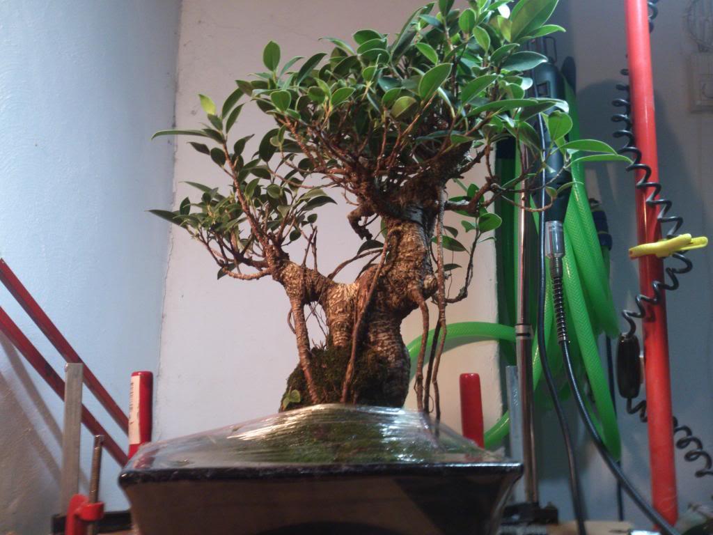 Nuevo inquilino, Ficus Retusa. DSC_0602_zpsa37d3d74