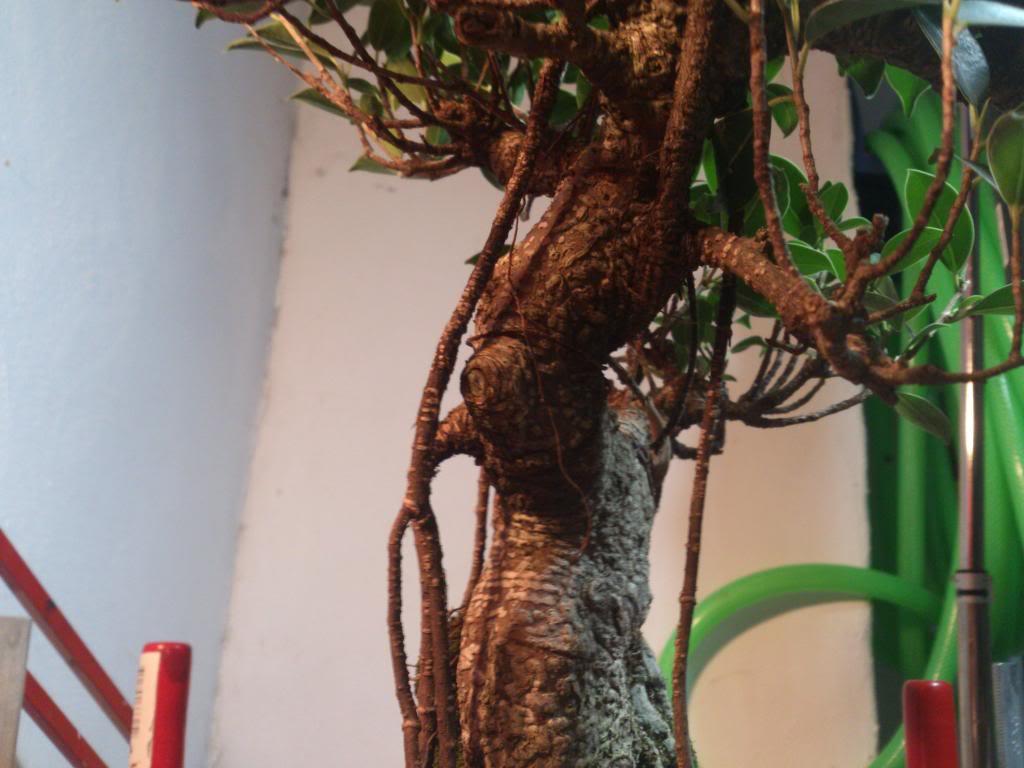 Nuevo inquilino, Ficus Retusa. DSC_0603_zpsc85258a2