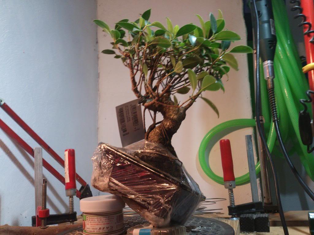 Nuevo inquilino, Ficus Retusa. DSC_0604_zpsfe895e6d