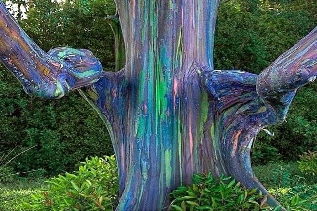 eucalyptus...... Rainbow-Eucalyptus-Trees-in-Kailua-Hawai