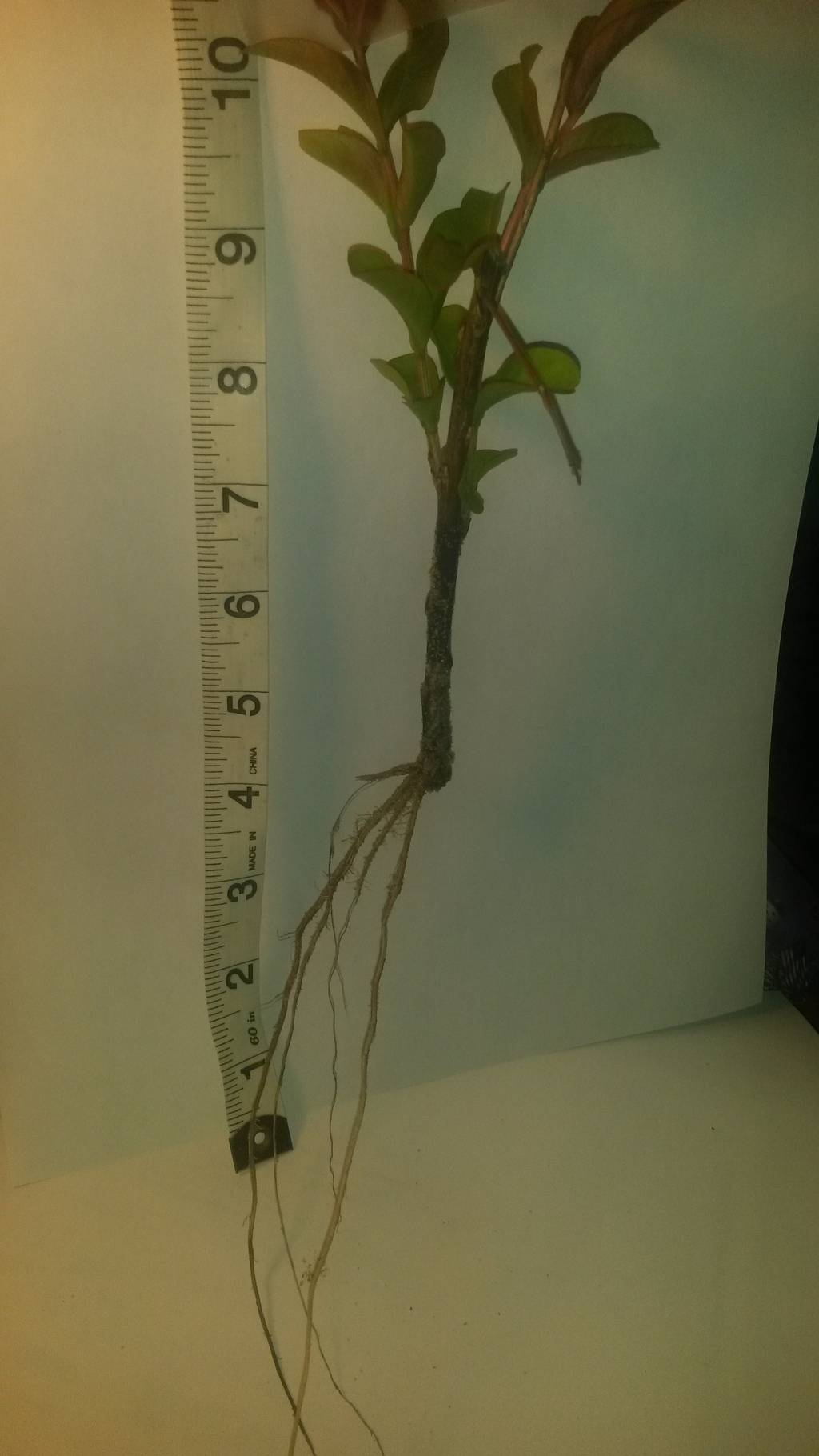 Rooted cuttings from Duncan Farms Nursery Plant%20pic%20RCS%20001_zpsbg28kuuu