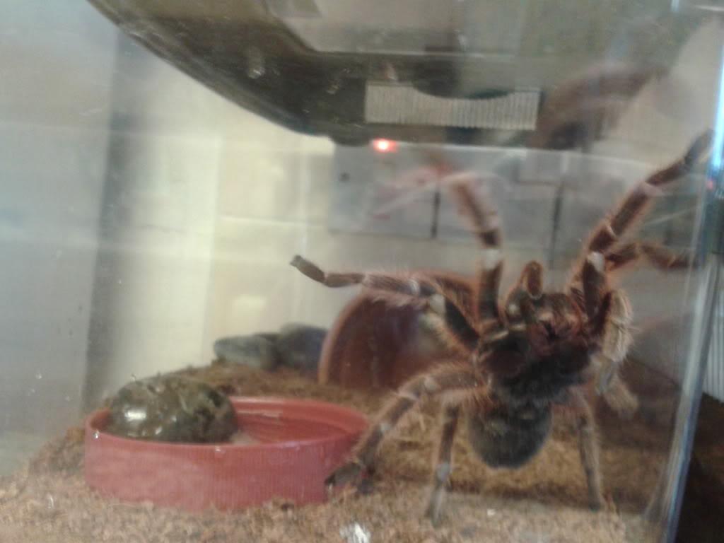 Amy the tarantula 2013-10-04180557_zps4d156029