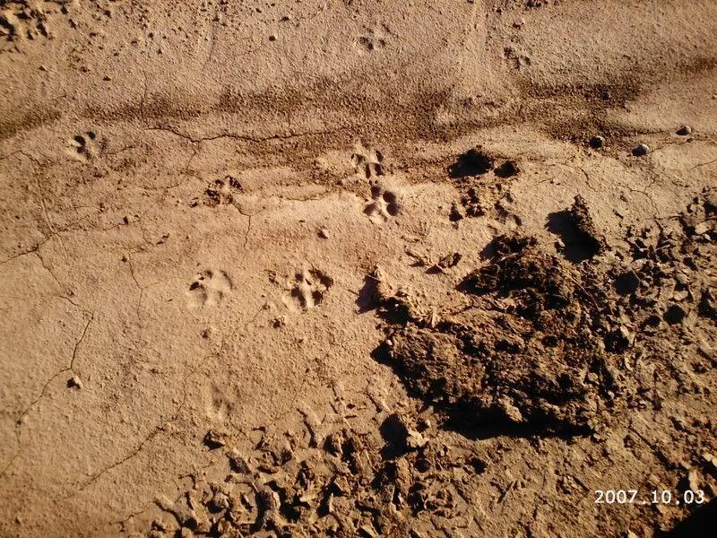 Coyote Tracks Coyotetracks-1