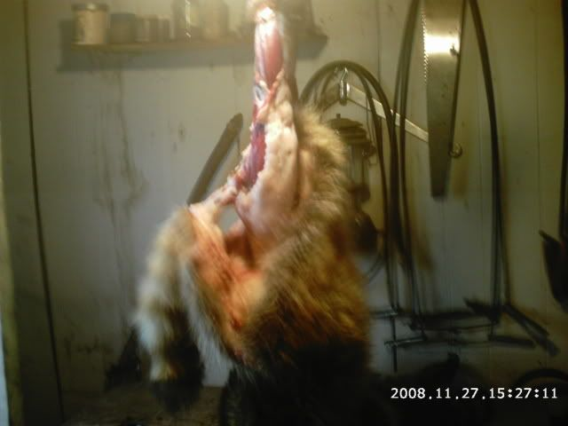 skinning coon Phot0010-2