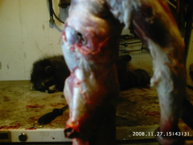 skinning coon Phot0018-4