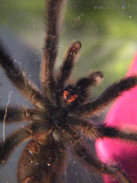 Your Tarantula and Spider pix.... - Page 2 Palmspringstrip065