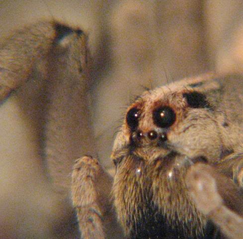 Your Tarantula and Spider pix.... - Page 2 Wolf1