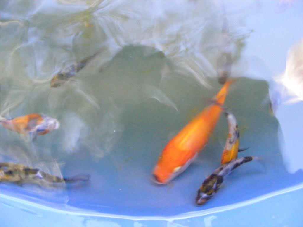 Pond 3 First Selection Doitsu Showa DSCF0077_zps1c36fae5