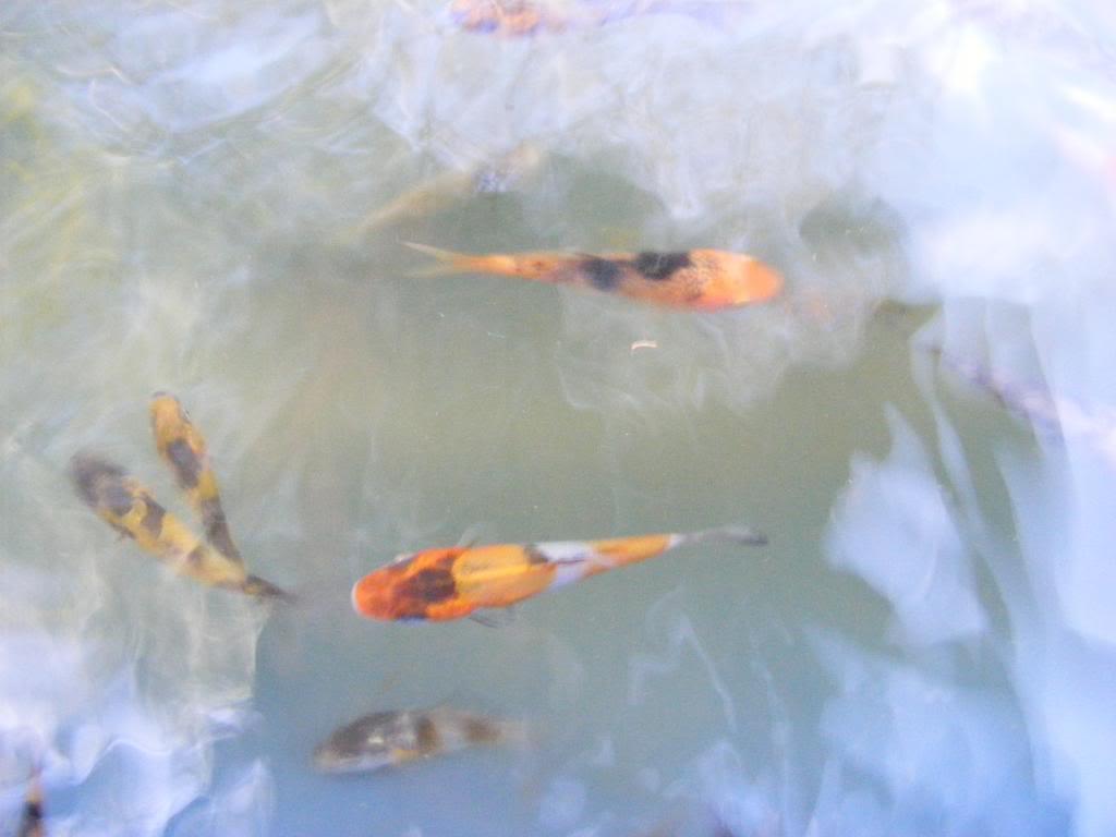 Pond 3 First Selection Doitsu Showa DSCF0104_zpsa58cd095