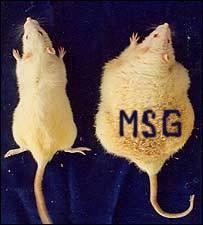 DEPOPULATION VIA LES OGM, LES PESTICIDES, LA DEFORESTATION ET LA POLLUTION DE NOTRE NOURRITURE ET DE NOS EAUX - Page 4 Rats_Fed_MSG_Obesity