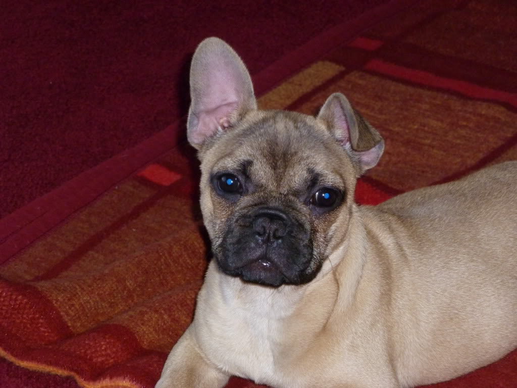 Hi all help needed.... looking for french bulldog pup P1000854