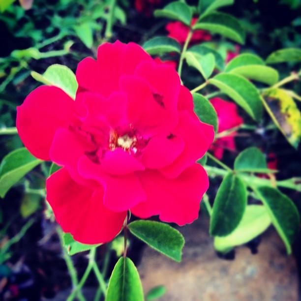 மீனு தரும்  ரோஜா மலர்கள் உங்களுக்காக... Flower