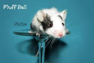 Pet Pied Mice - Maryland IMG_5328copywebsite-1