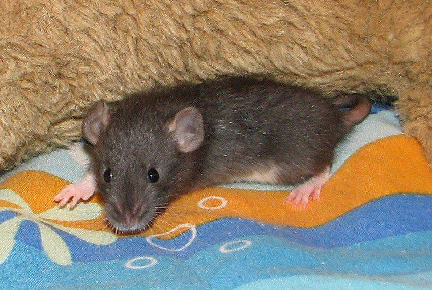 New to Rats 542622_503539566354779_1443717527_n_zpsabfa7547