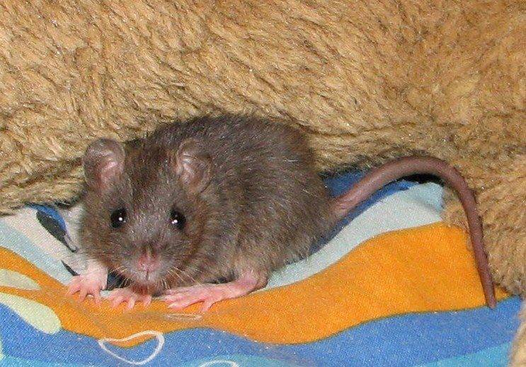 New to Rats 581720_503539533021449_1096754299_n_zpsa5929fc9