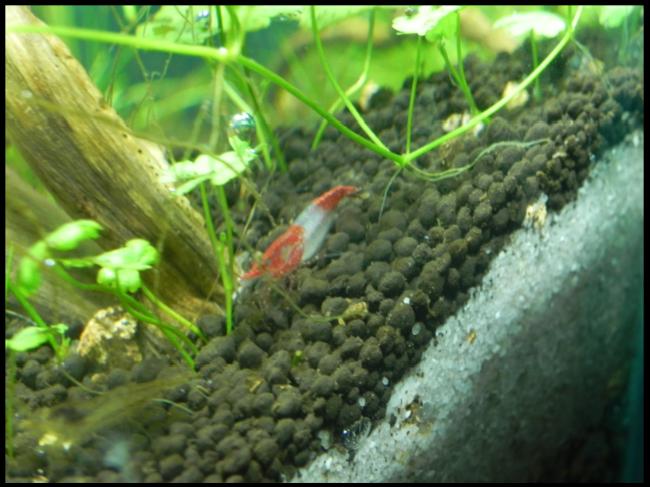 mi primer mini acuario - Página 2 Gambario3