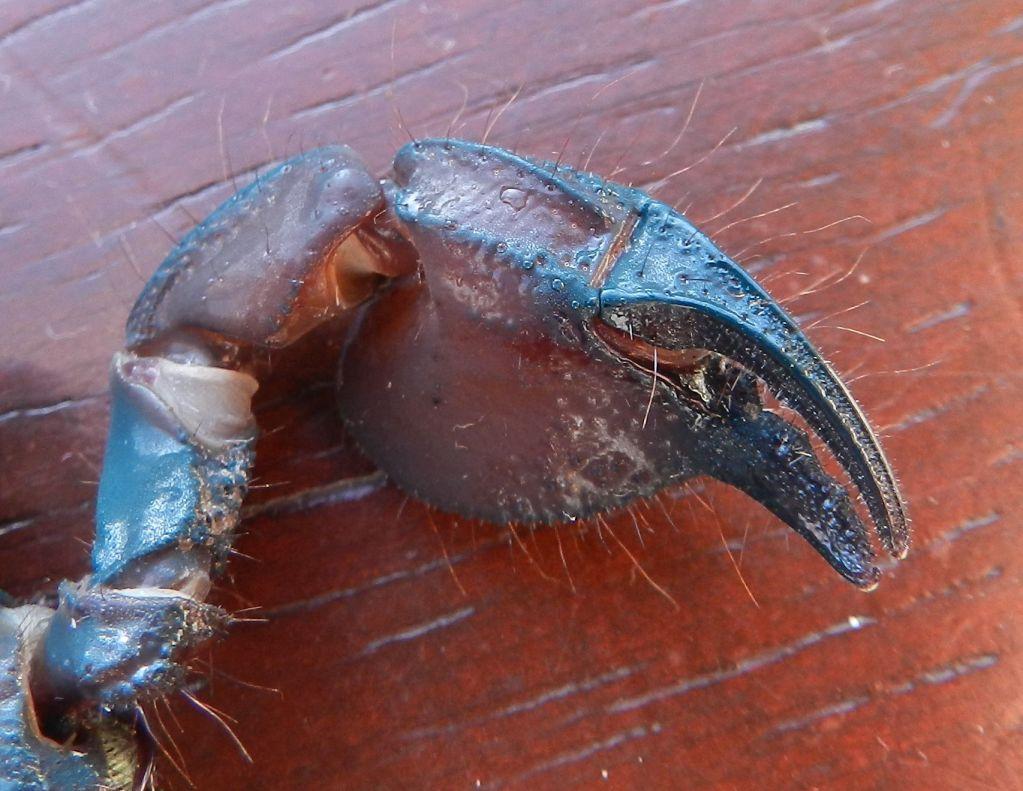 [Discussion] Pandinus ugandaensis identification. 5