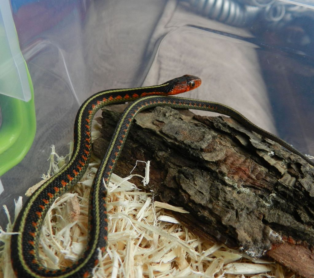 Callums Reptiles. DSCN1367
