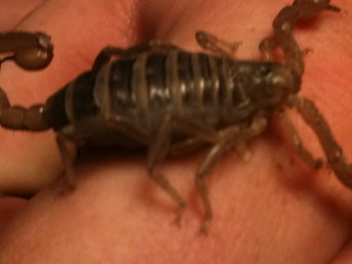 A question regarding scorpion gestation Scorpionvideos009