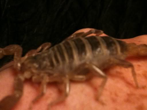 A question regarding scorpion gestation Scorpionvideos011