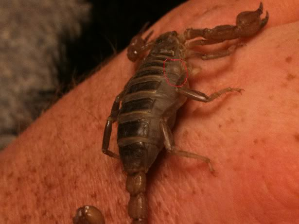 A question regarding scorpion gestation Scorpionvideos013