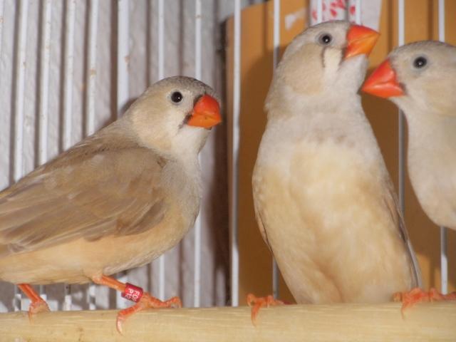 Mandarins - Outras aves de 2012 P6030172