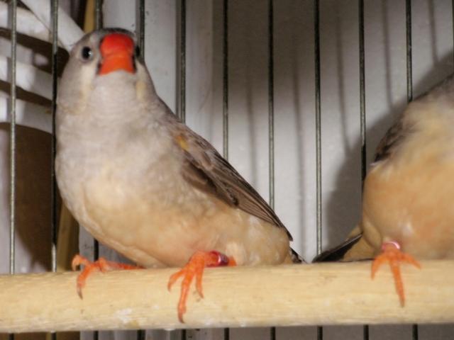 Mandarins - Outras aves de 2012 P6030177